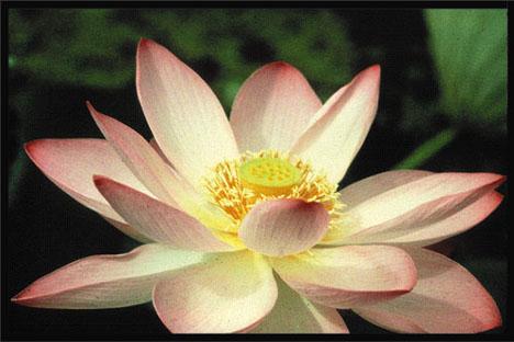 Lotus buddhism